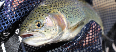 KDWPT To Stock More Trout, More Often This Season