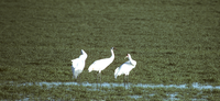 IT'S WHOOPING CRANE TIME