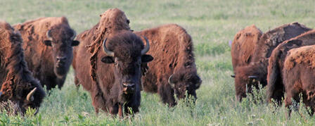 PUBLIC BUFFALO AUCTION NOV. 20