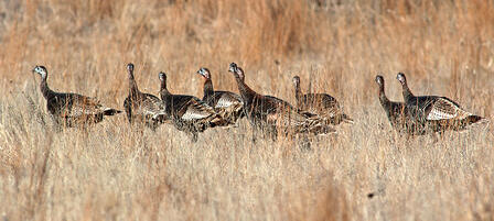 Fall Turkey Season Offers Second Chance at Gobblers