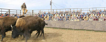 MAXWELL WILDLIFE REFUGE TO HOST BUFFALO AUCTION