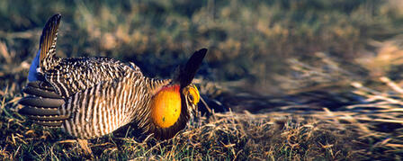 PRAIRIE CHICKEN SEASON UNIQUE HUNTING OPPORTUNITY