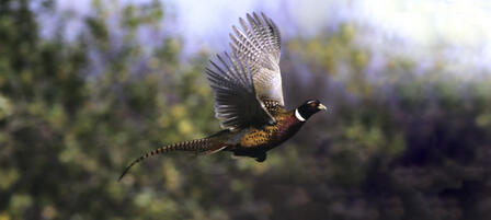 Waconda Lake To Host Annual Youth and Women's Pheasant Hunt