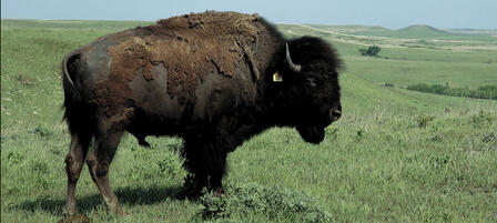 Surplus Buffalo To Be Auctioned At Maxwell Wildlife Refuge