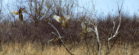 KANSAS PHEASANT AND QUAIL SEASONS GENERATE EXCITEMENT