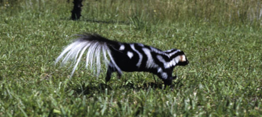 If You Spot A Spotted Skunk