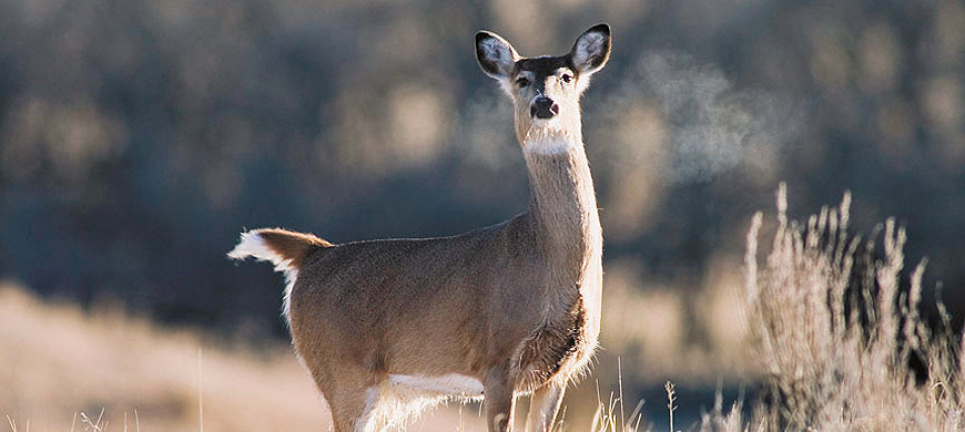 Antlerless-only Whitetail Season Provides One Last Opportunity