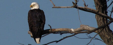 EAGLES SOAR AT TUTTLE CREEK, OTHER KANSAS RESERVOIRS