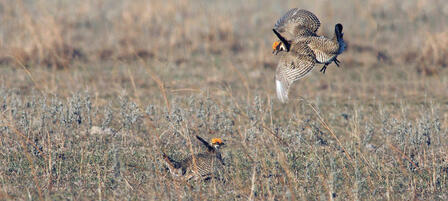 National Fish and Wildlife Foundation Grant to Benefit Lesser Prairie Chickens
