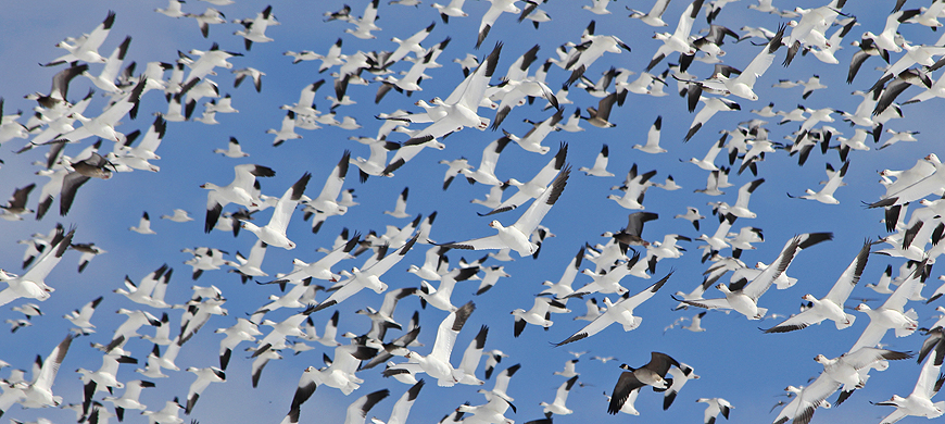 Snow Geese Descend On Lovewell State Park