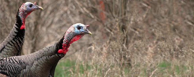 ONE HUNDRED SPECIAL HUNTS OFFERED FOR SPRING TURKEY