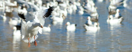 LIGHT GOOSE CONSERVATION ORDER PROVIDES LATE-SEASON HUNTING