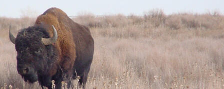 BISON BEING MOVED FROM SANDSAGE WILDLIFE AREA