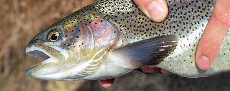 TROUT STOCKING PROGRAM PROVIDES VARIETY FOR ANGLERS / 3-14-13 / 2013