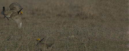 AERIAL SURVEY TO SEARCH LESSER PRAIRIE CHICKEN RANGE