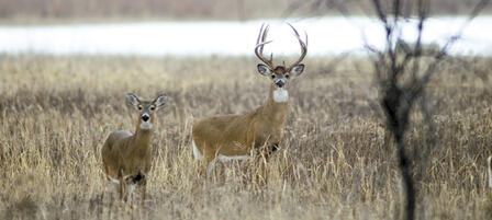 Commission to Consider 2016 Deer Regulations