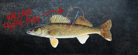 WALLEYE TAGGING STUDY AT MILFORD RESERVOIR