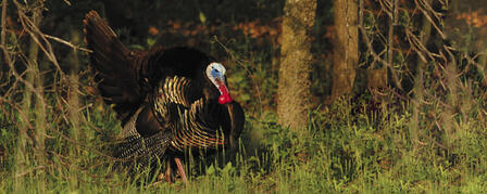 KDWPT OFFERS EARLY-BIRD SPECIAL FOR SPRING TURKEY SEASON