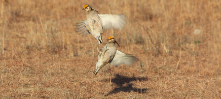 Aerial Surveys to Document Lesser Prairie Chicken Population Trends