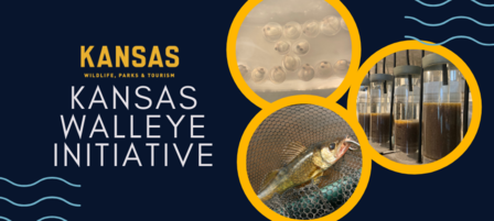 Walleye Initiative Leads to Higher Survival Rate, More Opportunities for Kansas Anglers