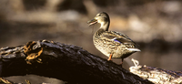 Kansas Duck Zone Boundaries to be Discussed During Information Nights