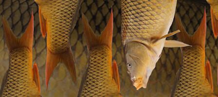 Agencies Cooperate to Control Carp In Milford Reservoir