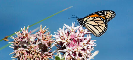 Kansas Monarch Conservation Plan To Focus on Habitat