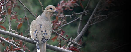 NATIONAL SURVEY EXPLORES THE WORLD OF DOVE HUNTING