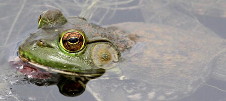 Grab, Gig or Dip For Bullfrogs Starting July 1