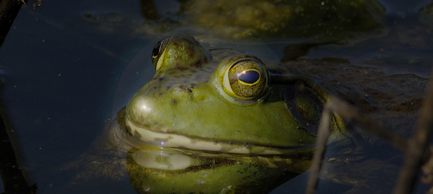 Bullfrog Season Opener July 1