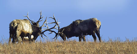 APPLICATION DEADLINE FOR LIMITED RESIDENT ELK PERMITS JULY 12