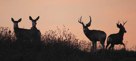 Elk and Either-Species Deer Permit Applications Due July 8
