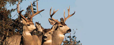 ELK AND EITHER-SPECIES/EITHER-SEX DEER PERMIT APPLICATIONS DUE JULY 11