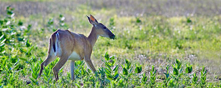 LEFTOVER NONRESIDENT WHITE-TAILED DEER PERMITS STILL AVAILABLE