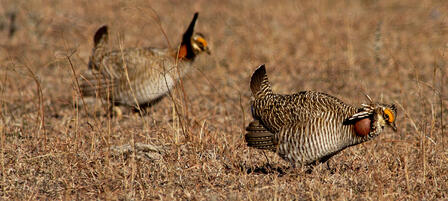 Aerial Surveys Confirm Lesser Prairie Chicken Population is Holding Steady