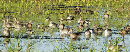 DUCK POPULATION AT ALL-TIME HIGH