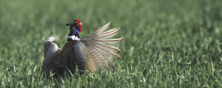 SURVEY SUGGESTS NESTING PHEASANT NUMBERS STABLE