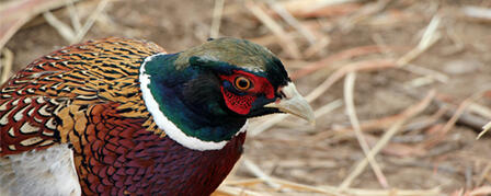 PUBLIC MEETINGS TO DISCUSS PHEASANTS