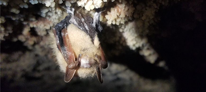 Fungus That Causes White-nose Syndrome In Bats Spreading In Kansas