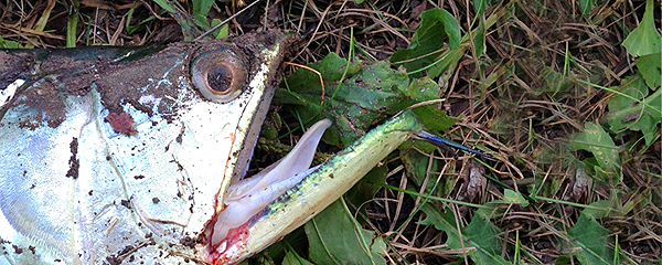 LAKE SHAWNEE ANGLER CATCHES ALIEN FISH