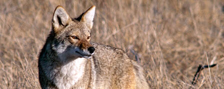 WILDLIFE, PARKS AND TOURISM COMMISSION REJECTS PROPOSED COYOTE HUNTING CHANGE