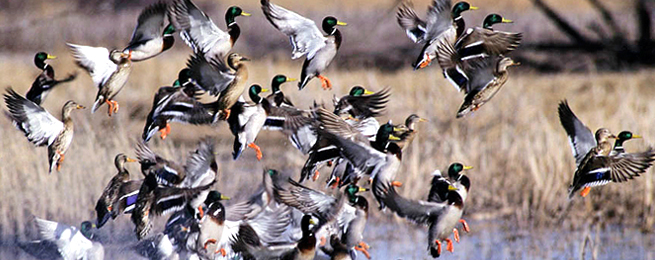 WILDLIFE, PARKS AND TOURISM COMMISSION TO SET WATERFOWL SEASONS