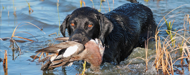 Wildlife, Parks and Tourism Commission Approves Duck and Goose Seasons