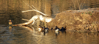 WILDLIFE, PARKS AND TOURISM COMMISSION SETS WATERFOWL SEASONS