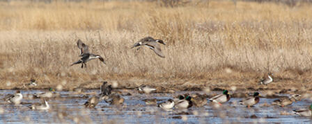 WATERFOWL DATES TO BE SET AT AUGUST 21 COMMISSION MEETING