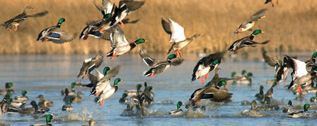 WATERFOWL HUNTING SEASON LOOKS PROMISING AFTER RECENT RAINS