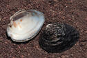 Rock Pocketbook Mussel
