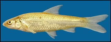 Plains Minnow