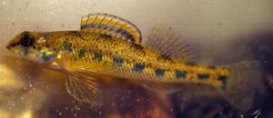 Highland Darter / All Threatened and Endangered Species