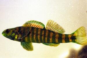 Banded Darter / All Threatened and Endangered Species / Threatened and ...